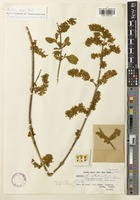 Isotype of Buddleja sterniana Cotton [family SCROPHULARIACEAE]