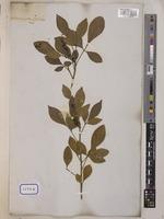 Aglaia odorata Lour  [family MELIACEAE] on JSTOR