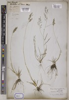 Eragrostis unrecorded Wolf [family POACEAE]