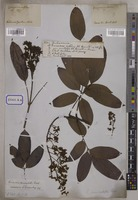 unrecorded unrecorded R.Br. [family CONNARACEAE]