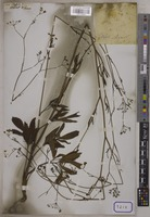 Ptychotis unrecorded W.D.J.Koch [family UMBELLIFERAE]
