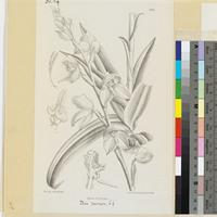 Disa racemosa Linn. f. published illustration from Curtis's Botanical Magazine