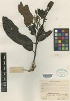 Isotype of Endiandra inaequitepala Kosterm. [family LAURACEAE]