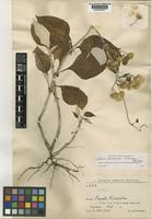 Holotype of Liabum steinbachii H.Rob. [family ASTERACEAE]