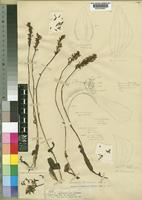 Holotype of Cynorkis buchananii Rolfe [family ORCHIDACEAE]