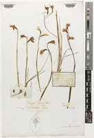 Holotype of Diuris lanceolata Lindl. [family ORCHIDACEAE]