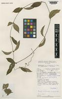 Isotype of Matelea cremersii Morillo [family ASCLEPIADACEAE]