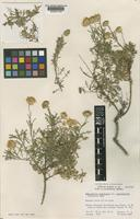 topo of Haplopappus spinulosus (Pursh) DC. subsp. incisifolius (I.M. Johnst.) H.M. Hall [family COMPOSITAE]