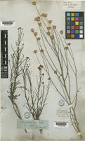 Chloracantha spinosa (Benth.) G.L.Nesom [family COMPOSITAE]