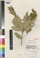 Isotype of Boscia keniensis Beentje [family CAPPARACEAE]