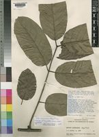 Holotype of Dictyophleba rudens Hepper [family APOCYNACEAE]