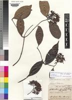 Isolectotype of Alafia landolphioides (A.DC.) K.Schum. [family APOCYNACEAE]
