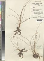 Holotype of Anthericum nigericum Hepper [family ANTHERICACEAE]