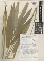 Isotype of Dinochloa prunifera S.Dransf. [family POACEAE]