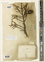 Isotype of Picea glehnii (F. Schmidt) Mast. [family PINACEAE]