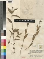 Holotype of Aneilema chrysopogon Brenan [family COMMELINACEAE]