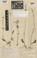 Type of Peristylus nematocaulon (Hook.f.) J.J.Wood [family ORCHIDACEAE]