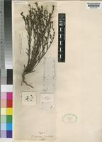 Type of Thesium nigrum A.W.Hill [family SANTALACEAE]