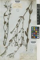 Isotype of Declieuxia glauca Mart. ex Cham.&Schltdl. [family RUBIACEAE]