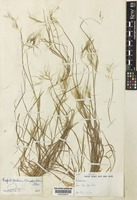 Holotype of Capillipedium longisetosum Bor [family POACEAE]