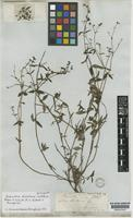 Galianthe dichotoma (Willd. ex Roem.&Schult.) E.L.Cabral&Bacigalupo [family RUBIACEAE]