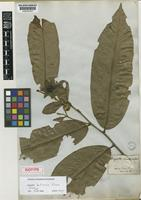 Isotype of Duguetia bahiensis Maas [family ANNONACEAE]