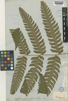 Type of Polypodium macropterum Kaulf. [family POLYPODIACEAE]
