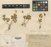 Isotype of Oxalis paraguayensis Chodat [family OXALIDACEAE]