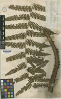 Holotype of Alsophila chimborazensis Hook. [family CYATHEACEAE]