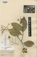 Isotype of Eschweilera panamensis Pittier [family LECYTHIDACEAE]