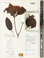 Isotype of Rhododendron atrichum Argent [family ERICACEAE]