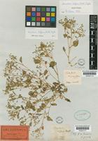 Lectotype of Claytonia diffusa Nutt. [family PORTULACACEAE]
