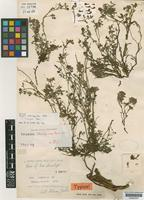 Holotype of Corydalis stracheyioides Fedde [family PAPAVERACEAE]