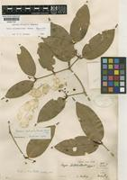 Holotype of Kayea calophylloides Ridl. [family CLUSIACEAE]