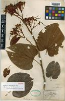 Isotype of Bauhinia chalcophylla L.Chen [family LEGUMINOSAE-CAESALPINIOIDEAE]