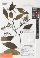 Isotype of Epiclastopelma marroninum Vollesen [family ACANTHACEAE]