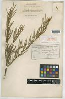 Type of Acacia cupularis Domin [family LEGUMINOSAE-MIMOSOIDEAE]