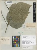 Holotype of Artanthe ruiziana Miq. [family PIPERACEAE]