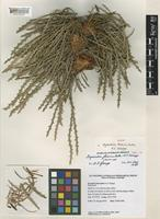 Isotype of Dryandra fasciculata A.S.George [family PROTEACEAE]