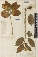Holotype of Tovaria rossii Baker [family CONVALLARIACEAE]