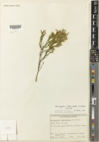 Isotype of Micromyrtus fimbrisepala J.W.Green [family MYRTACEAE]