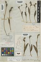 Syntype of Lyperanthus antarcticus Hook.f. [family ORCHIDACEAE]
