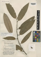 Holotype of Knema kinabaluensis J.Sinclair [family MYRISTICACEAE]