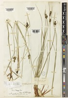 Isotype of Carex complanata Torr. & Hook. [family CYPERACEAE]