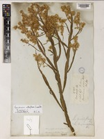 Baccharis milleflora (Less.) DC. [family COMPOSITAE]