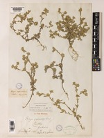 Syntype of Filago lutescens Jordan [family COMPOSITAE]