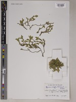 Isotype of Herniaria ericifolia C.C.Townsend [family CARYOPHYLLACEAE]
