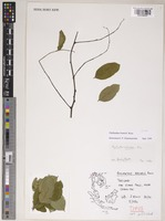 Isotype of Phyllanthus brunelii J.P.Roux [family PHYLLANTHACEAE]