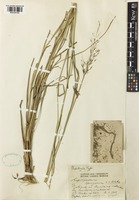 Type of Capillipedium spicigerum S.T.Blake [family POACEAE]