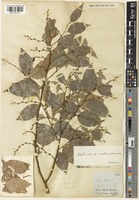 Type of Cleistanthus blancoi Vidal f. dubius Jabl. [family PHYLLANTHACEAE]